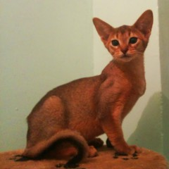 Котик дикого окраса Энигма + Бонд