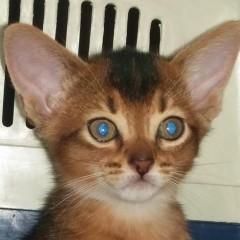 Котик дикого окраса от Конана, алиментный.